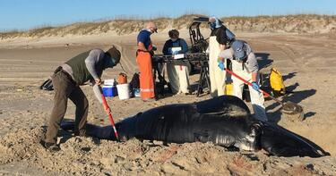"""One of the rarest marine mammals"" on Earth washes ashore dead in North Carolina"